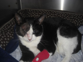 One of our furry friends, Smudge, recuperating after surgery.