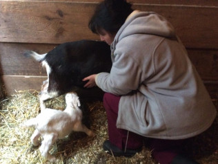 Our CVT, Donna helps new born kid, Happy, nurse from his mother Joy!